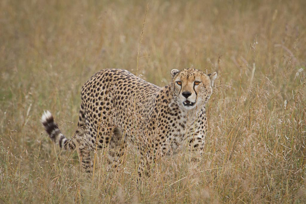 Cheetah on the prowl, Serengeti