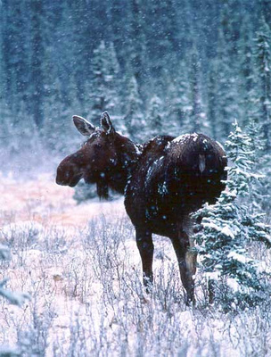 Moose in a snowstorm, Jasper National Park - with my Vasque Boots!
